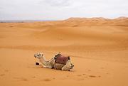 Berber Camel Caravan, Morocco