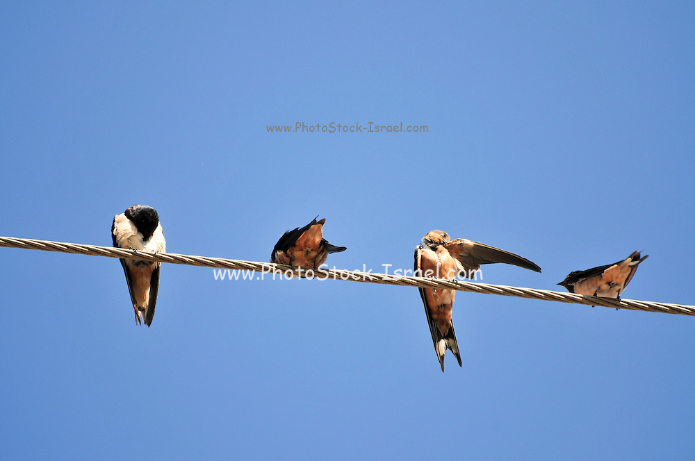 Four Barn swallows (Hirundo rustica) perched on a wire. Swallows are seasonal visitors to the northern hemisphere, migrating long distances south in the winter. They breed in North America and Eurasia, building a mud bowl nest on the wall or roof of a building or inside caves. Swallows inhabit open country near water and are strong and accomplished fliers, spending much of their time airborne, feeding on flying insects. Photographed in Israel in November.