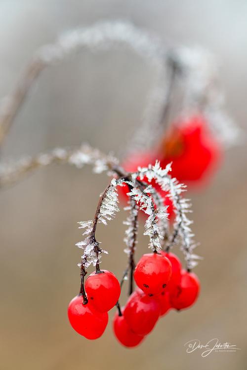 Highbush cranberry (Viburnum trilobum) Frosted berries, Moonstone, Ontario, Canada