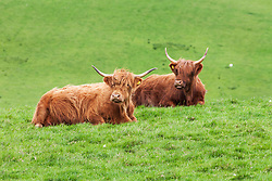 Yaks sitting on grass, Scotland, UK
