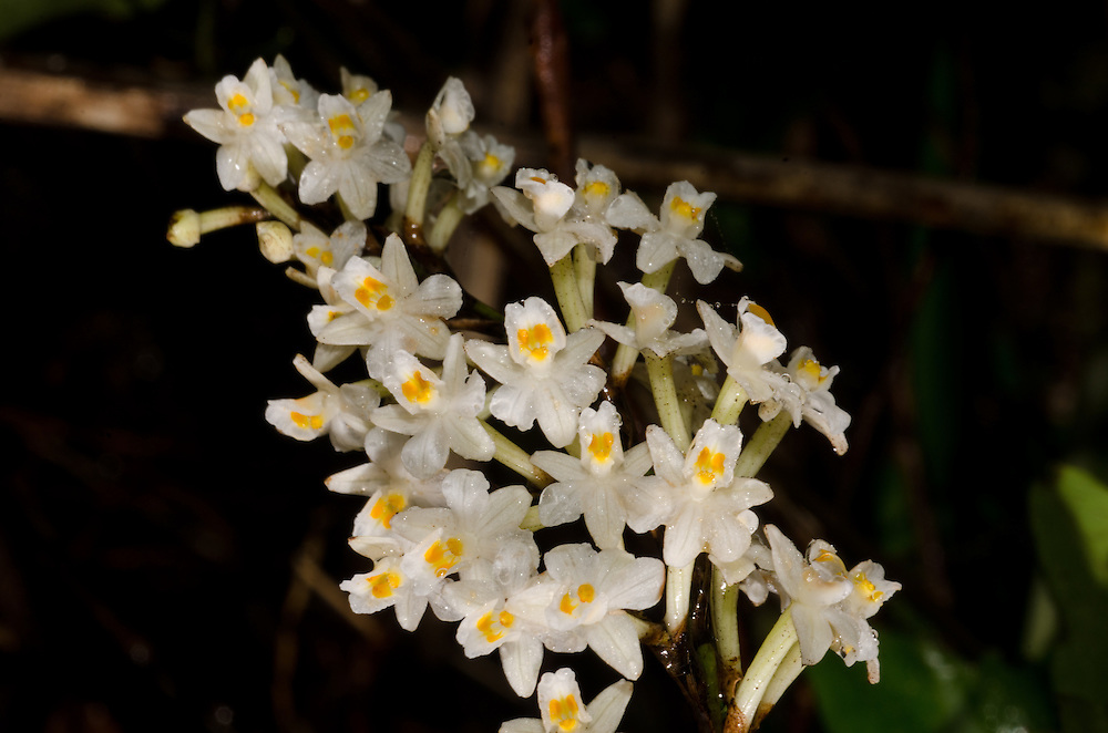 Easter Orchid, Earina autumnalis
