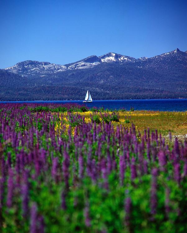 Lake Tahoe Landscape Spring Flowers and Sailboat Lake Tahoe
