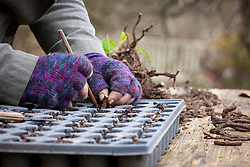 Taking root cuttings from a poppy. Placing root cutting vertically into module tray