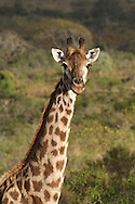 UMFOLOZI - 3 July 2007 - A giraffe in South Africa's popular Umfolozi-Hluhluwe Game Reserve in northern KwaZulu-Natal..Picture: Giordano Stolley/Allied Picture Press