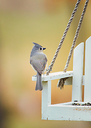 This Tufted Titmouse was keeping an eye on me to make sure I did not steal his food.