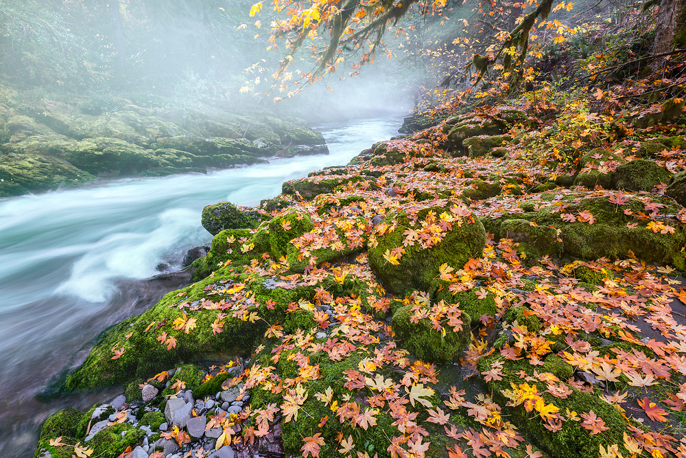 Broad leaf maple leaves decorate moss-covered rocks on the banks of Oregon's South Santiam River, on a foggy autumn morning.