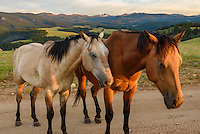 These horses were grazing by my campsite near a 4WD road in the Big Horn Mountains. I wanted to find somewhere to camp with a view of the snowcapped 13,005 feet high Black Tooth Mountain in the distance. Out of the herd of 7 horses, these two were obviously a couple. I waited for them to walk into the late evening sunlight before I shot their portrait.
