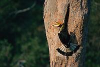 Great Hornbill (Buceros bicornis) at his nest..Khao Yai National Park, Thailand