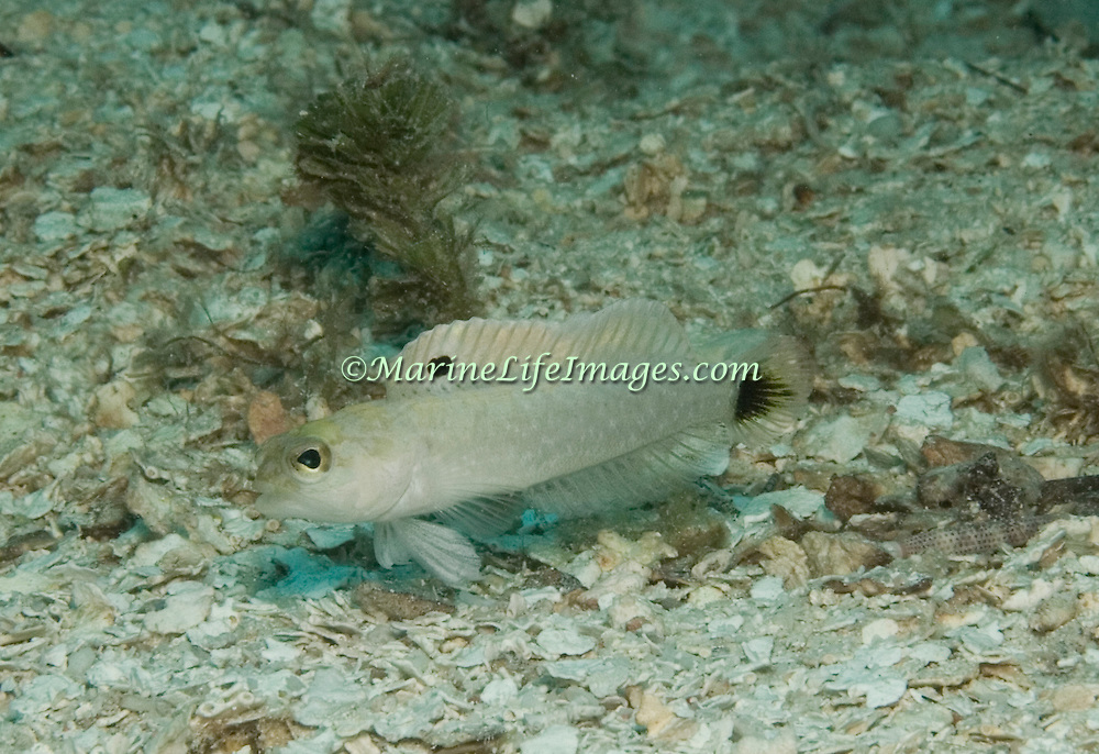 Yellow Jawfish inhabit deep areas of sand and rubble; usually rest in burrows with head and forebody exposed; Bahamas and Western Caribbean to Jamaica and Purto Rico; picture taken Utila, Honduras.