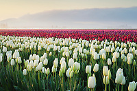 Sunrise over the Skagit Valley Tulip Fields, Washington