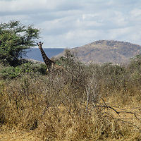 Not a rare sight by Joyce Nduguaya.<br /> <br /> Girraffe are some of the most common or dominant species amongst our homesteads. They are very peaceful and graze around us near acacia trees.