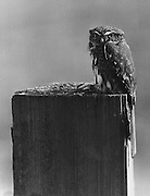 """A pygmy owl, """"grounded"""" by heavy fog near Sultan, stuck to its perch atop a post. (Josef Scaylea / The Seattle Times, 1976)"""