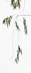 Eucalyptus camaldulensis #14