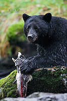 Black bear in the Great Bear Rainforest, BC, Canada