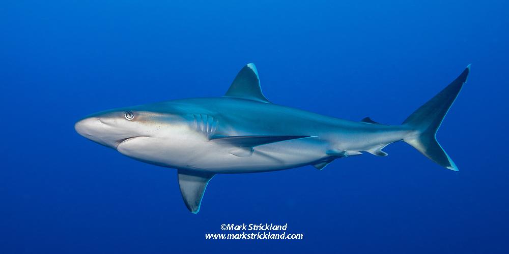 Silvertip Shark, Carcharhinus albimarginatus, Fathers Reefs, Kimbe Bay, Papua New Guinea, Pacific Ocean