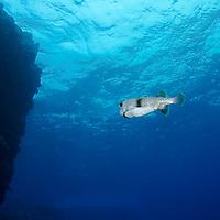 Giant Porcupinefish, Kona Hawaii