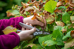 Pruning out frost damaged flower shoots from a hydrangea that has been caught by a late frost. Hydrangea macrophylla 'Endless Summer'