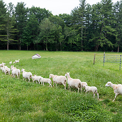 Sheep head out to pasture at Clarke Farm in Epping, New Hampshire.