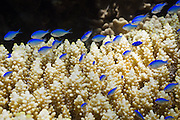 Blue green Damselfish (Chromis viridis) on Acropora digitifera coral - Agincourt reef, Great Barrier Reef, Queensland, Australia. <br />