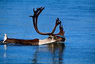 Reindeer, Rangifer tarandus, Kubuk Valley National Park, Alaska, USA