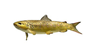 Brown Trout - Salmo trutta
