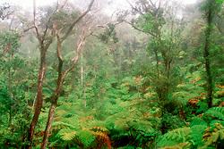tree fern, Hapu`u, Cibotium spp,, and `Ohi`a Lehua, Metrosideros polymorpha, forest, Hawaii, USA Volcanoes National Park, Kilauea, Big Island, Hawaii, USA