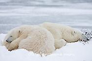 01874-107.12 Polar Bears (Ursus maritimus) mother and cub Churchill, MB Canada