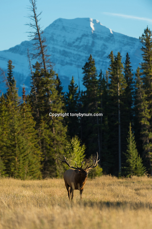 bull elk bugling in meadow with large mountain back ground