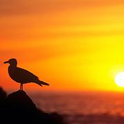 Silhouette of a Herring Gull (Larus argentatus) at sunset on Appledore Island. Isles of Shoals, Maine
