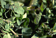 Close up selective focus photograph of bunches of Oregano plants in the sunlight