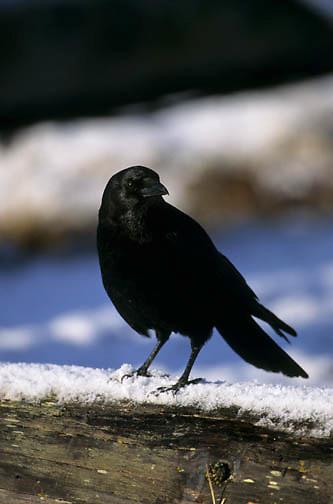 Northwestern Crow (Corvus caurinus) Perched on snag.