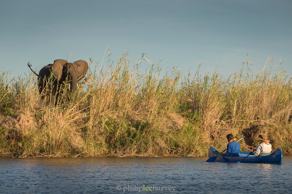 African elephant by canoe on lower Zambezi River in Zambia