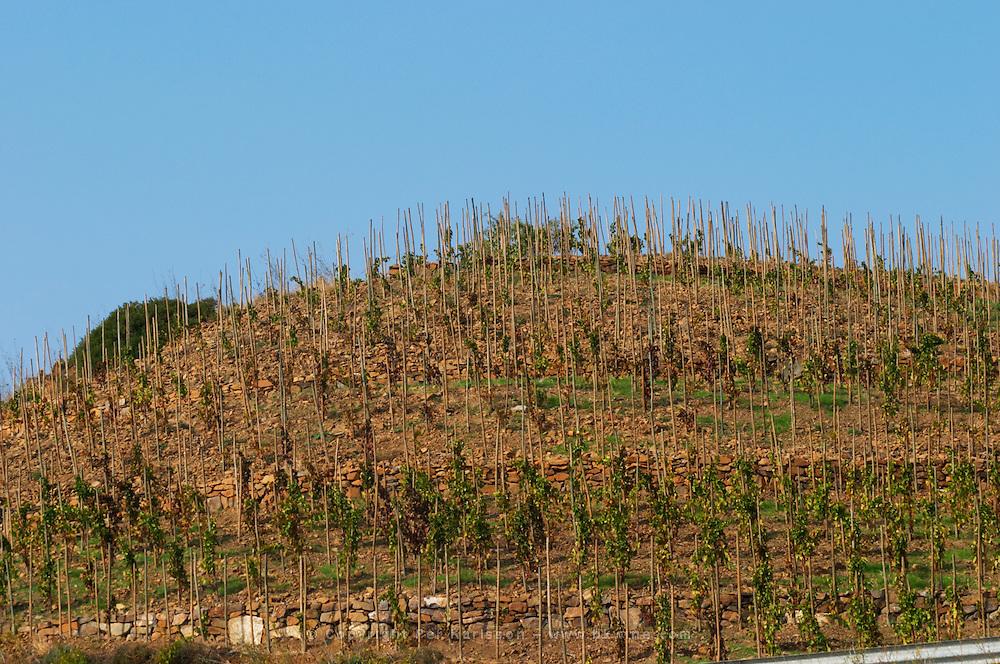 "Vines pruned on stakes, ""echalat"". Terraced vineyard. Mas Igneus, Gratallops, Priorato, Catalonia, Spain."