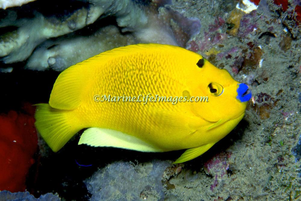 Threespot Anglefish inhabit reefs. Picture taken Raja Ampat, Indonesia.