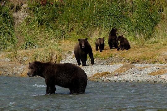 Alaskan Brown Bear (Ursus middendorffi) Adult male challenges mother with cubs on bank.Katmai National Park. Alaska.