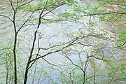 Gracefull Blooming Dogwood Trees Along River, Tennessee