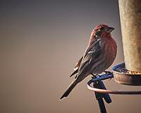 Male House Finch. Image taken with a Nikon D5 camera and 600 mm f/4 VR lens (ISO 360, 600 mm, f/4, 1/1250 sec)