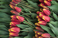Cut Tulips ready for shipping, Skagit Valley Washington