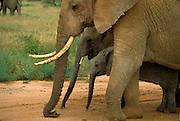 Elephant family, Serengeti National Park, Tanzania.
