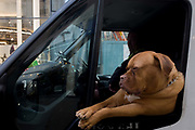 A pet Dogue de Bordeaux dog sits leaning out of the front passenger seat of a white courier van in central London. The dog - otherwise known as a Bordeaux Mastiff, French Mastiff or Bordeauxdog is a large French Mastiff breed—and one of the most ancient French dog breeds. It leans on the opened window looking forward and enjoying the journey with its owner, a van driver on his way through Oxford Street, a busy road through the capital.