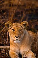 Lioness, Masai Mara National Reserve, Kenya