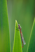 Frühe Adonislibelle, Frühe Adonisjungfer (Pyrrhosoma nymphula)