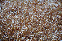 Winter Grass with Snow. Sourland Mountain Preserve. Nikon D300 18-200 mm f/3.5-5.6 VR lens (ISO 200, 95 mm, f/7.1, 1/200 sec)