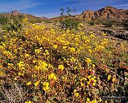 Golden Evening Primrose wildflowers in Death Valley National Park in California