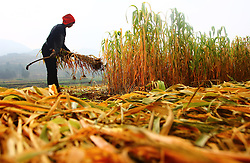 ZAOZHUANG, Sept. 7, 2016 (Xinhua) -- A farmer reaps straw at fields in Wangyu Village of Zaozhuang, east China's Shandong Province, Sept. 7, 2016. Farmers are busy as autumn harvest season begins. (Xinhua/Zhang Qiang) (wyl) (Credit Image: © Zhang Qiang/Xinhua via ZUMA Wire)