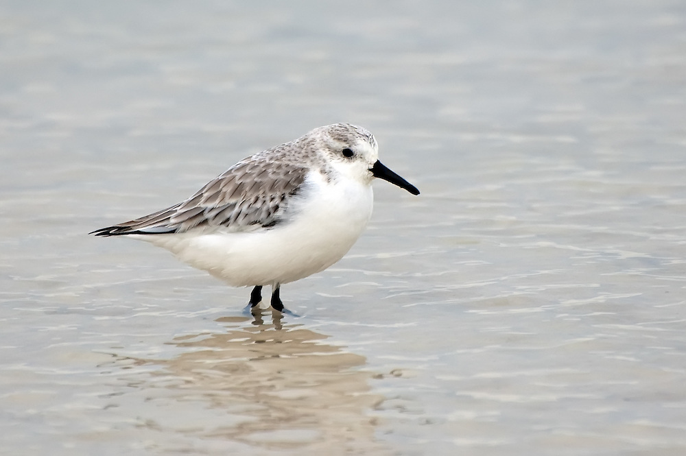 A lovely little sanderling in its winter plumage on the shore of the St. Joseph Peninsula on North Florida's Gulf Coast.