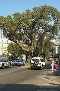 Israel, Tel Aviv, King George street, 5 ancient Sycamore trees in urban environment, The Sycamore is historically one of the most important trees. It's cited in the Bible several times. The wood and figs have been used by people in Middle East for thousands of years. These trees can live for centuries.
