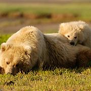 Alaskan Brown Bear, (Ursus middendorffi) Mother and cub resting, cubs head on mothers back. Katmai National Park. Alaska.