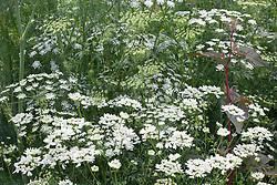 Ammi majus (Bishop's flower) with Orlaya grandiflora and Anethum graveolens (Dill)