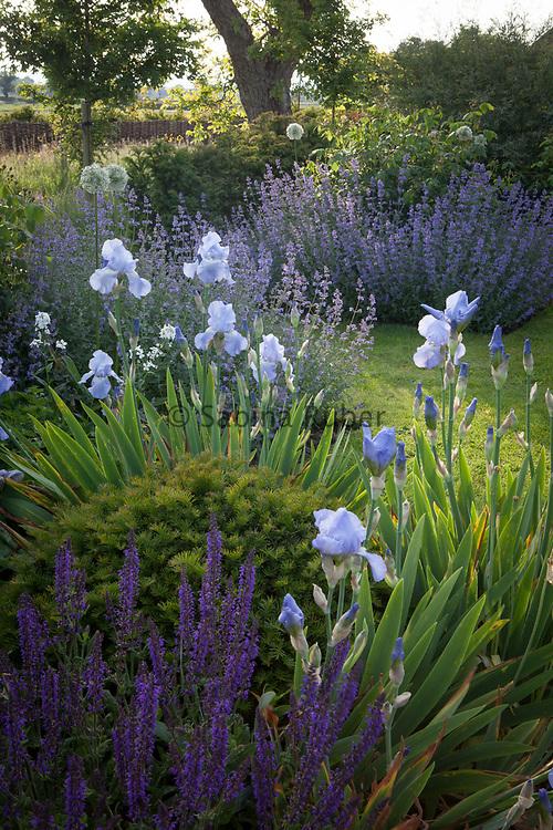 Salvia 'Mainacht', Iris 'Jane Phillips', Nepeta 'Walker's Low' and Allium 'Mount Everest', Rose Walk, Manor Farm, Cheshire